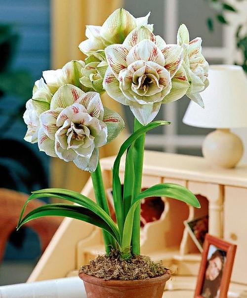 Самый волшебный цветок Гиппеаструм это первый цветок в жизни моей внучки Полины. Его бутон распустился, когда малышке исполнилось 8 месяцев. С тех пор каждый год за 45 суток до ее дня рождения я