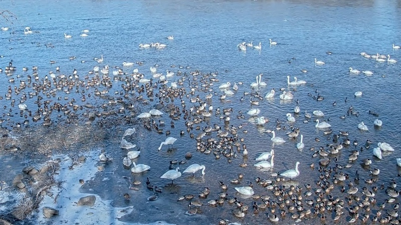 Trumpeter Swans on the Mighty Mississippi River