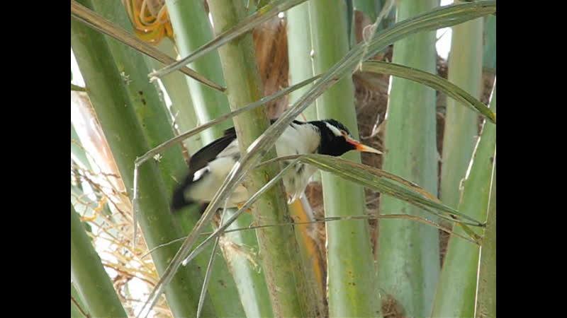 The pied myna or Asian pied starling Gracupica contra Пегий скворец