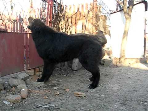 Romanian Raven Shepherd Dog 7 5 months Ciobanesc corb