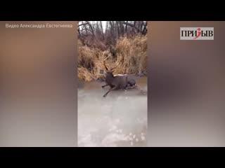 Невероятная история спасения пятнистого оленя на Клязьме!