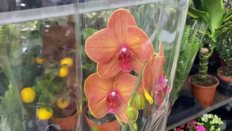 ОРХИДЕИ НЕЖНЯЧИЕ обзор новых орхидей по 449 руб с сочными корнями в Ашан 23 05 20
