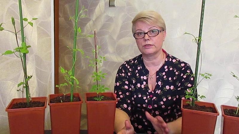Клематисов Роз ХоКак сохранить посадочный материал сты и др до высадки в о г 22 03 2020