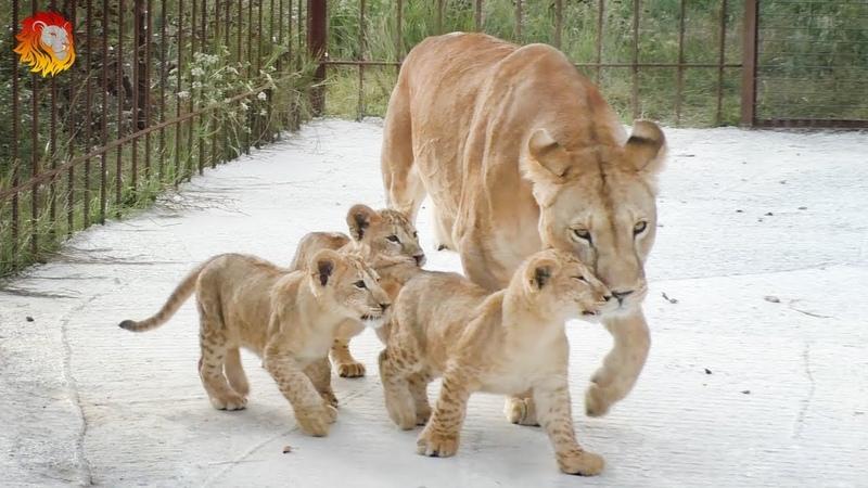 Говорящие львята. Такого вы еще НЕ СЛЫШАЛИ. Лолины малыши. Тайган. Lion cubs are talking. Taigan.