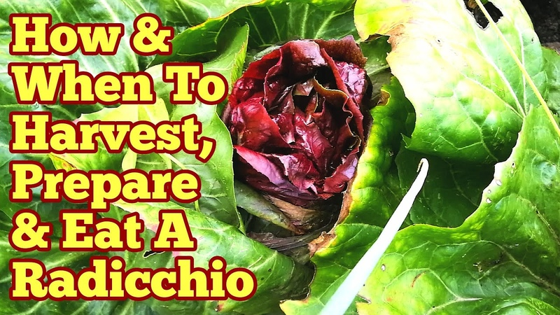 Radicchio How When To Harvest Prepare Eat From Garden To Plate Allotment Kitchen Garden