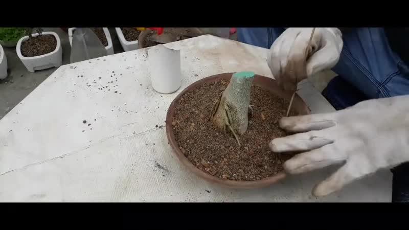 обрезка Адениума для развития каудекса