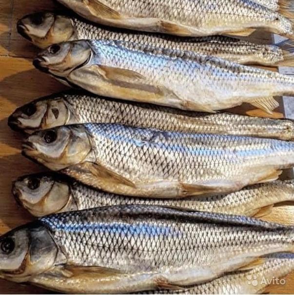 поделки каспийская рыба кутум фото совету