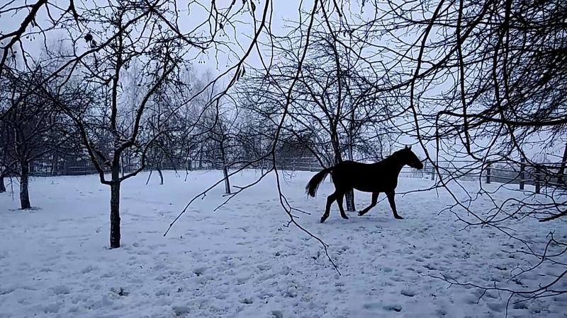 Тракененская лошадь во всей красе   Trakehner Horse