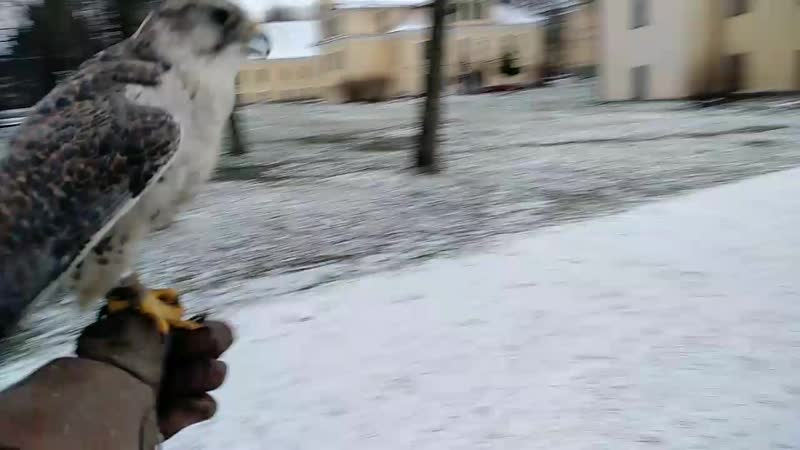 Тренировка сокола балобана
