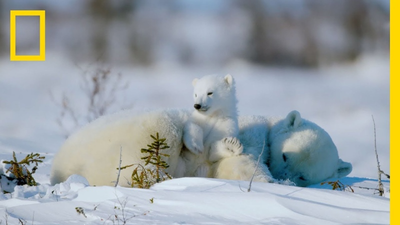 The Life of a Baby Polar Bear Ep 4 Wildlife The Big Freeze