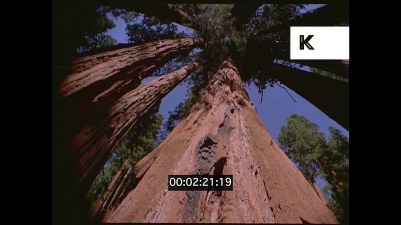 1960s California Redwood Trees Yosemite Sequoias 35mm