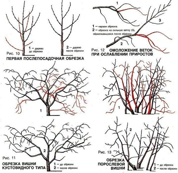 Войлочная вишня (китайская вишня): особенности выращивания.