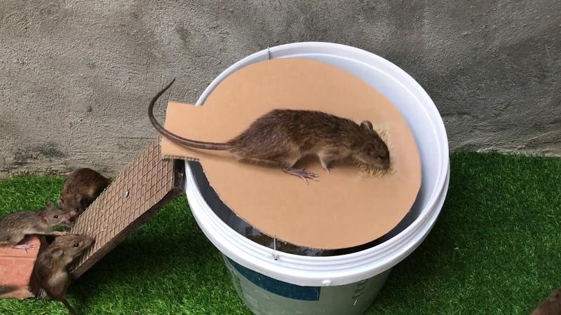 Membuat perangkap tikus mudah 1 🐀🐀🐀 CARA MUDAH BUAT JEBAKAN PERANGAP TIKUS