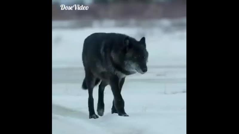 Волчара.
