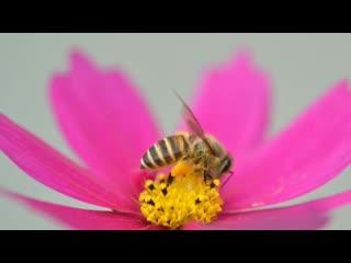 Пчела, познавательный ролик.