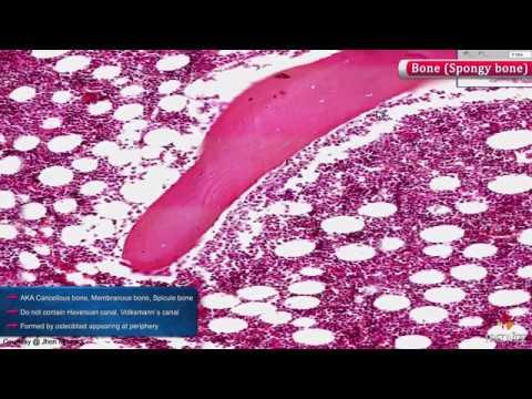 Normal Histology of Bone