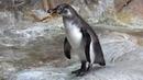 Пингвин Гумбольдта Московский зоопарк Humboldt's Penguin Moscow zoo 企鹅 动物园 ペンギン 펭귄 البطريق पेंगु 23