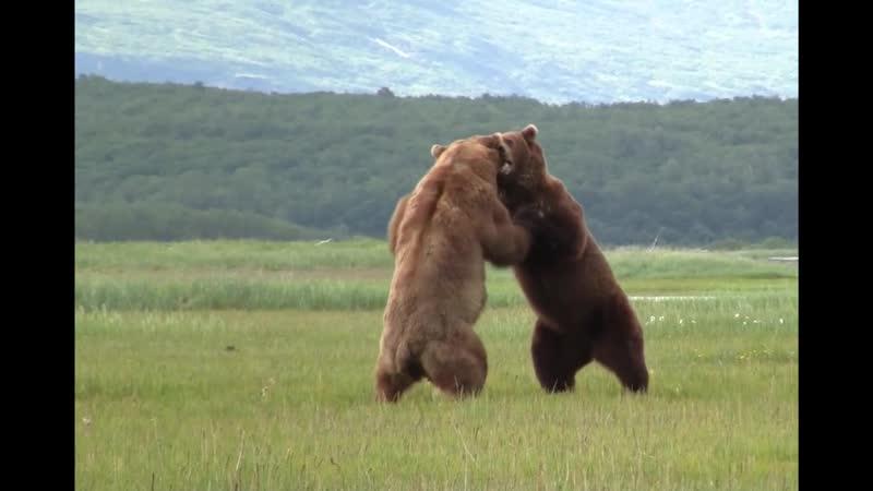 Косолапые самцы не поделив медведицу устроили разборку