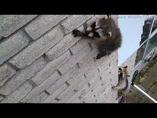 Видео дня: мама-енот спасает своего детёныша, застрявшего на стене