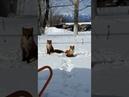 На территорию больницы в Южно-Сахалинске пришли лисы