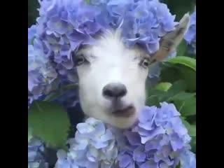 Самая милая коза