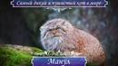 Манул - самый ДИКИЙ и злобный кот, самый ПУШИСТЫЙ кот в мире, паллосов кот, кот медведь.