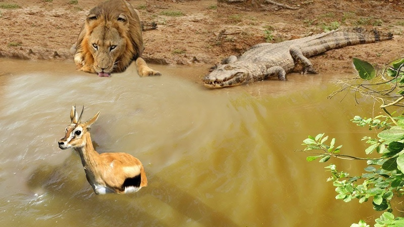 CROCODILE VS LION AMBUSH PREY | Impala Stuck In Mud