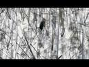 Как в Якутии выслеживали медведя, задравшего четырех кобылиц