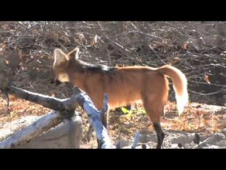 Denver Zoo Welcomes Two Maned Wolves