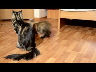 Котята мейн-кун 3.5 месяца