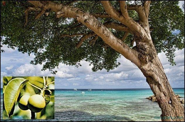 Самое опасное дерево на планете: любителям отдыха на райских островах полезно узнать...