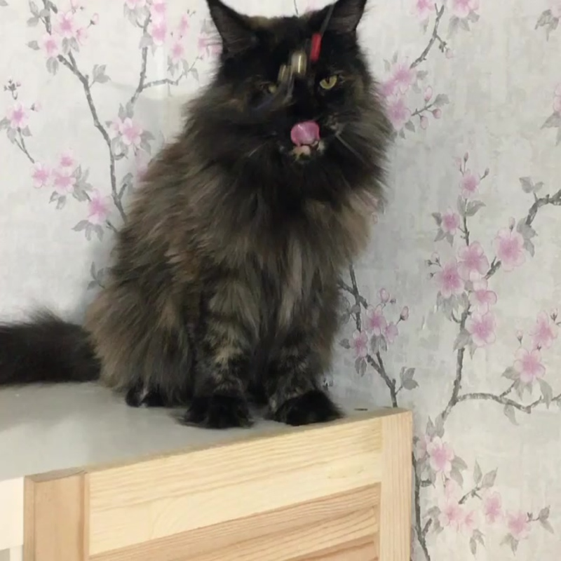 Кошка мейн кун Капитолина