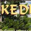 Cedar Cedar