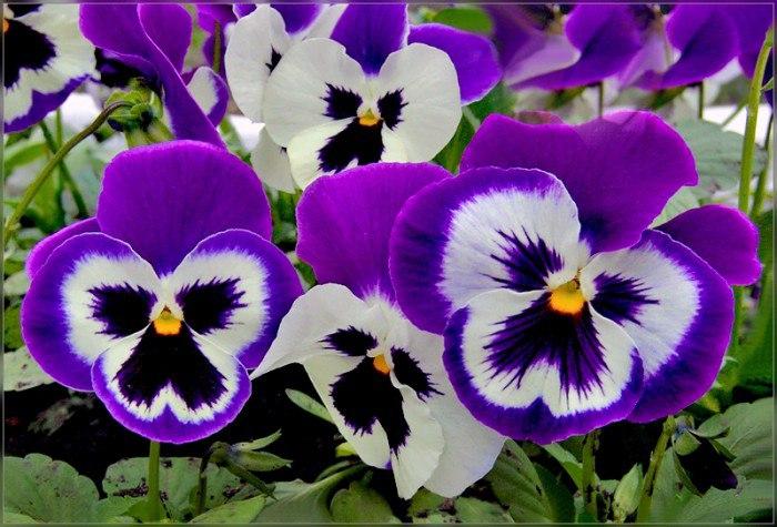 Какие цветы сажают на рассаду в феврале?, изображение №5