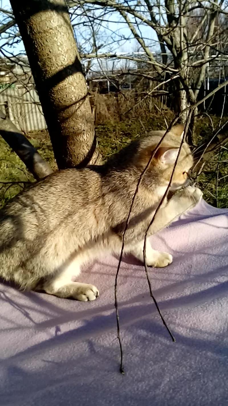 Продажа. Фиона, британский котёнок, золотая тиккированная шиншилла.