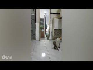 Грозный котёнок пытается напугать своего злейшего врага, спрятавшегося в зеркале