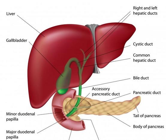 Некоторые органы брюшной полости, включая поджелудочную железу, желчный пузырь и печень.