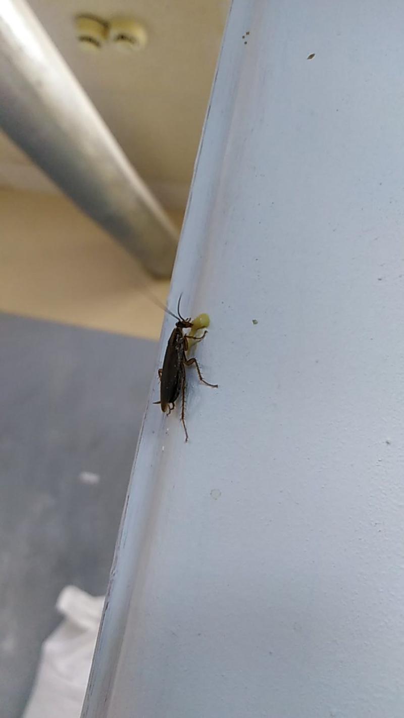 Уничтожение тараканов в Воткинске