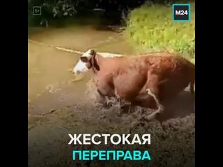 Корову взяли на буксир, переправляя через реку — Москва 24