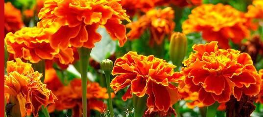 Зеленая защита: какие цветы посадить от вредителей на участке