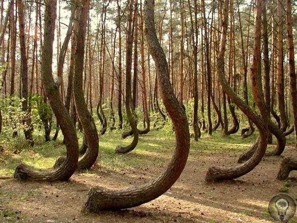 """""""Пьяный"""" лес в Тырново: почему это место в Рязанской области считается аномальным"""