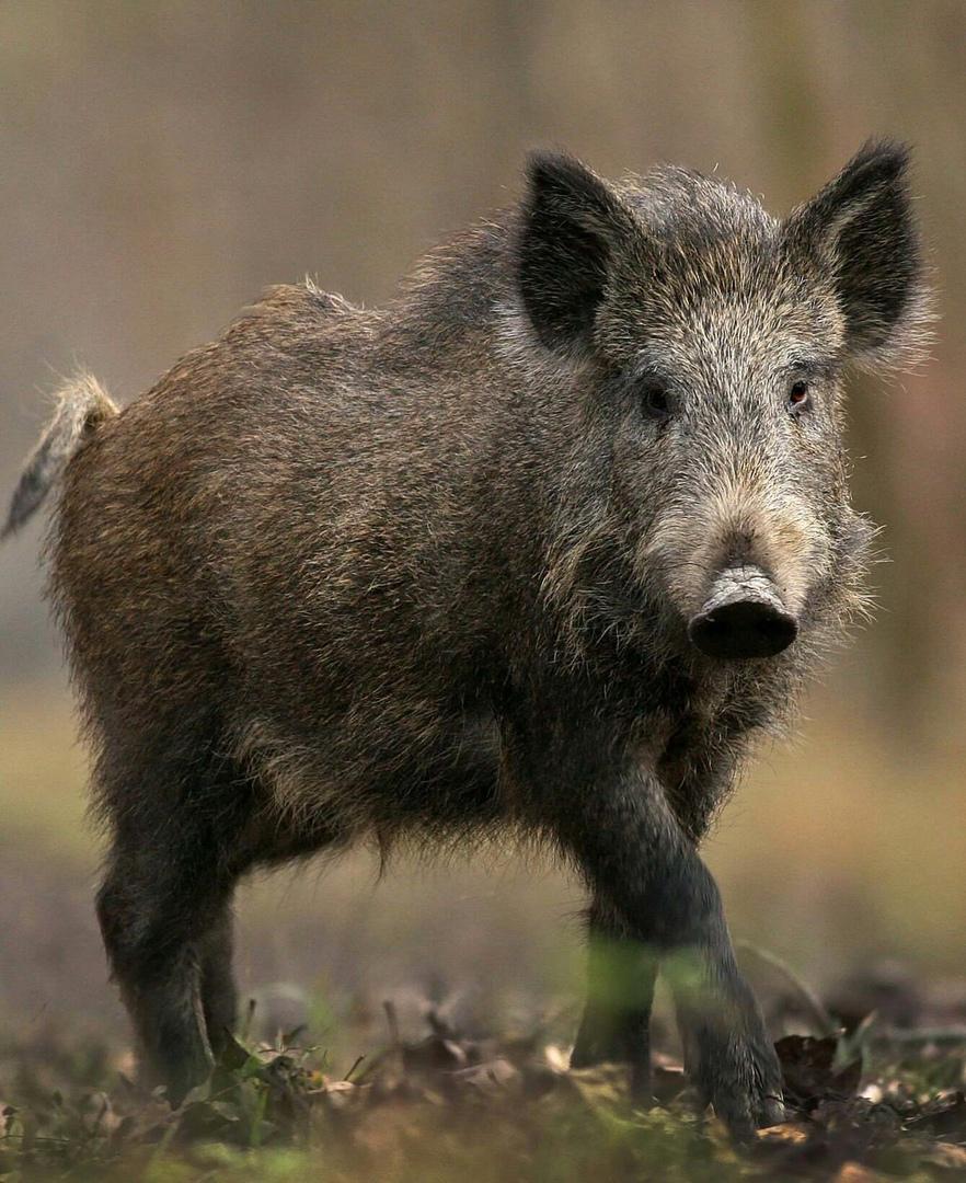 В Вольском районе установлен карантин из-за африканской чумы свиней