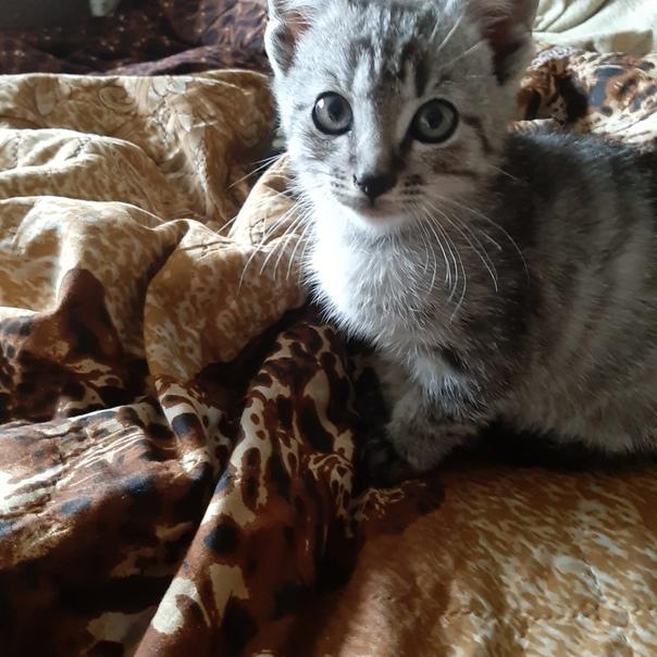 Котенок мальчик в добрые руки. Возраст 2 месяца, к...