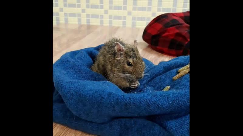 Белка дегу на лечении в ветеринарной клинике в Калуге Жизнь