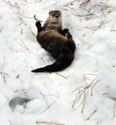 «Скользи!»: зимние забавы речной выдры.