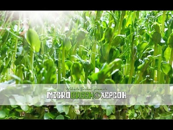 Микрозелень купить Херсон ☘ 0509299615 0965647296 MICROGREEN© МикрозеленьКупитьХерсон