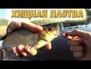 Хищная плотва , спиннинг UL и микро колебалка - рыбалка с женой