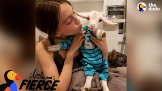 Baby Goat Is Pretty Sure He's A Dog   The Dodo Little But Fierce