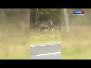 На трассе Кострома-Судиславль лось воюет с забором
