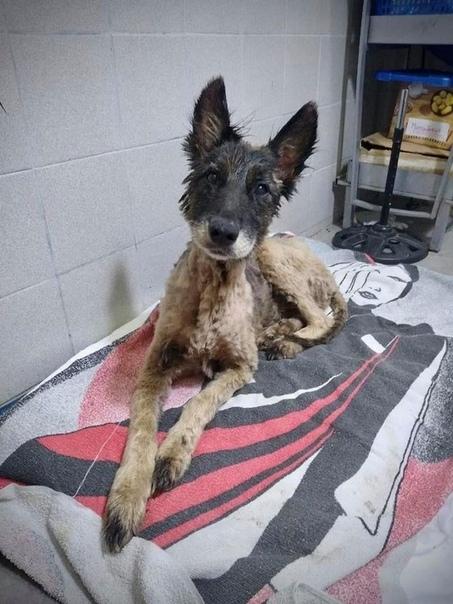 Волонтеры рассказали, как они спасали собаку, полностью залитую битумом. В Аргентине на пустыре на окраине города Либертад собаки подняли лай. Дети решили проверить, что же привлекло их внимание